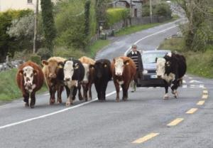 Cows stop traffic