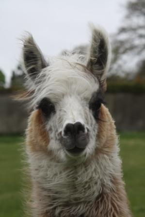 llamas in Ireland