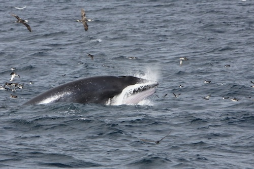 Minke Whale - photo credit Pádraig Whooley, Cork Whale Watch
