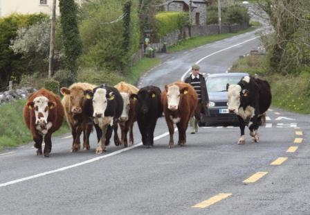 An Irish traffic jam...