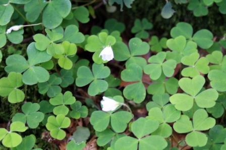 Shamrock or clover?