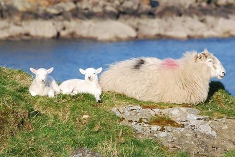 Slieve League Sheep